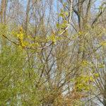 Bloeiende-ambeerboom-2-1.jpg