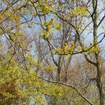Bloeiende-amberboom-1-0.jpg