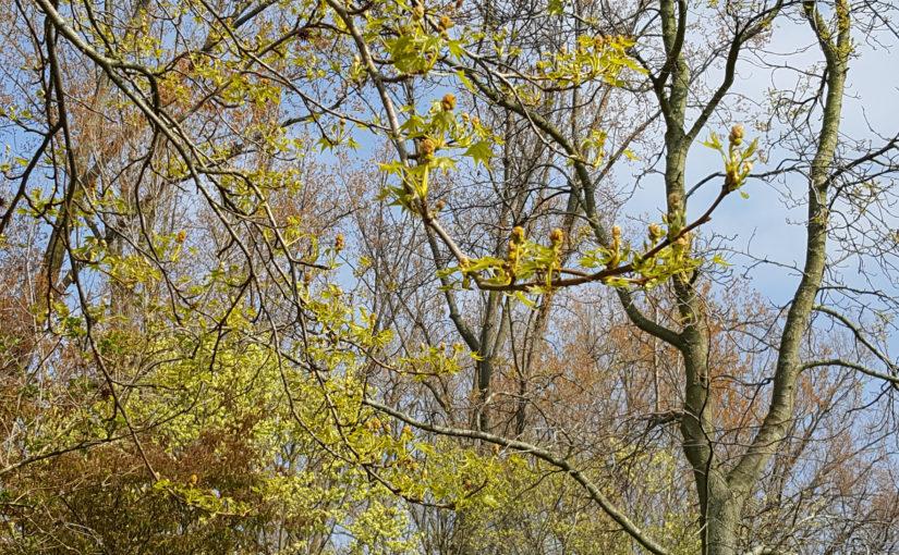 Bloeiende amberboom