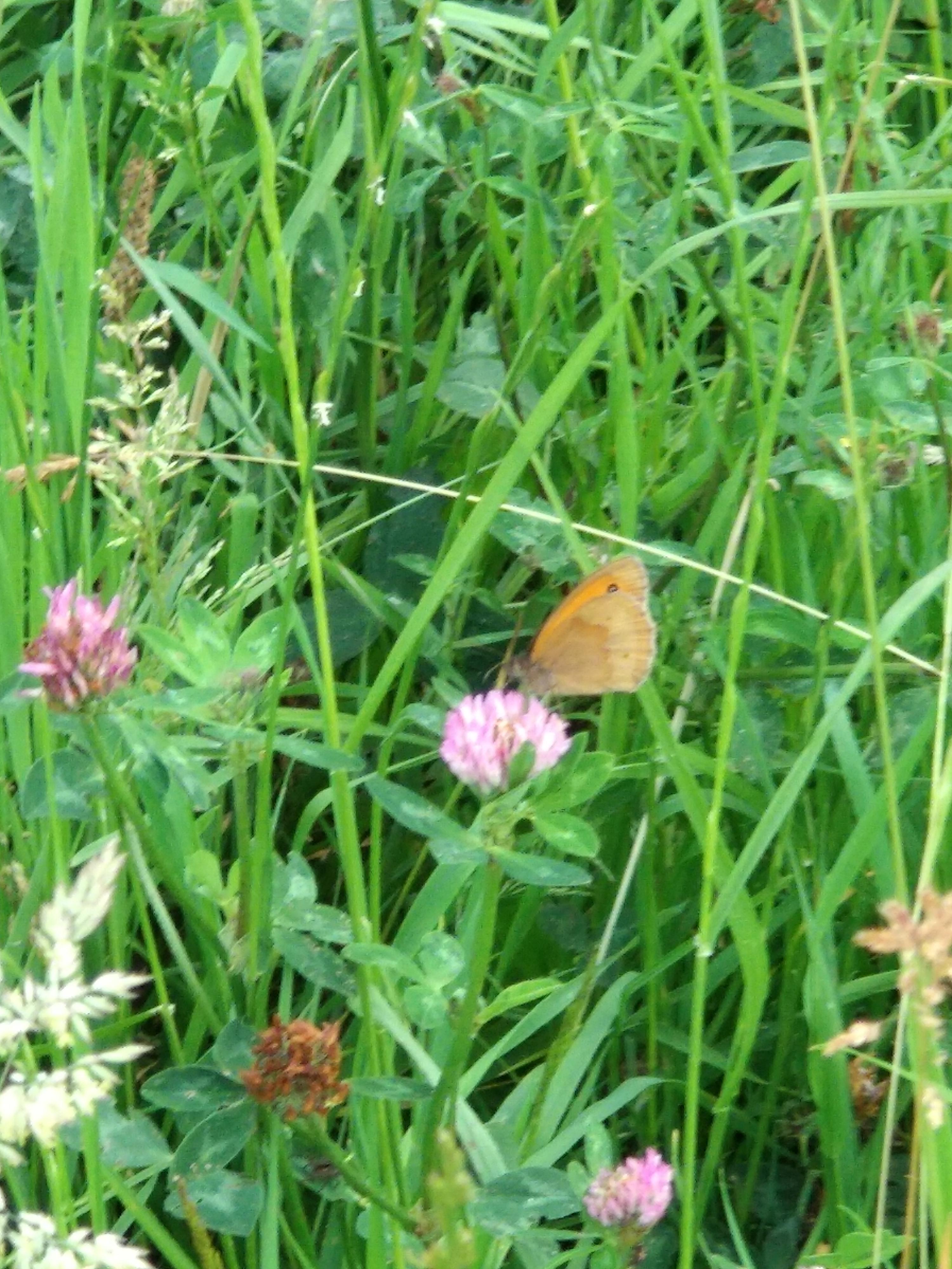 Klaver met vlinder