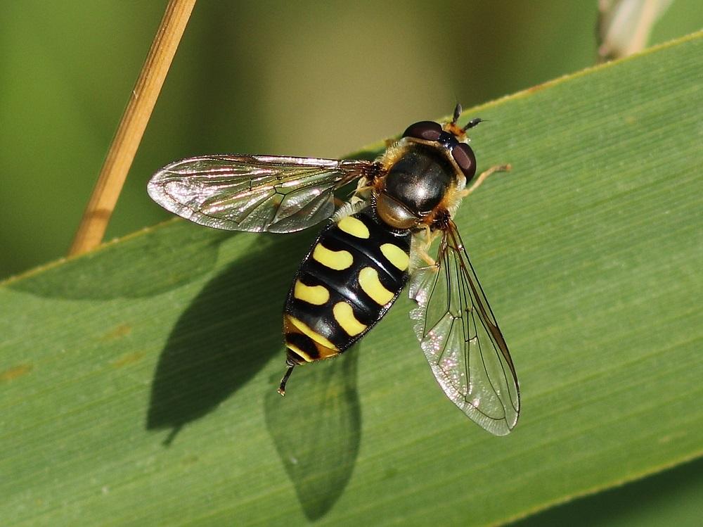 Lees meer over het artikel Grote kommazweefvlieg
